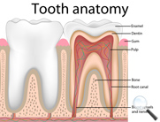 What is a tooth made of