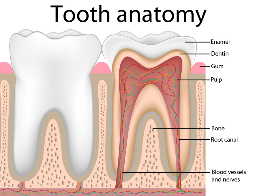 About The Tooth And The Tooth Root Dental Studio Vukic